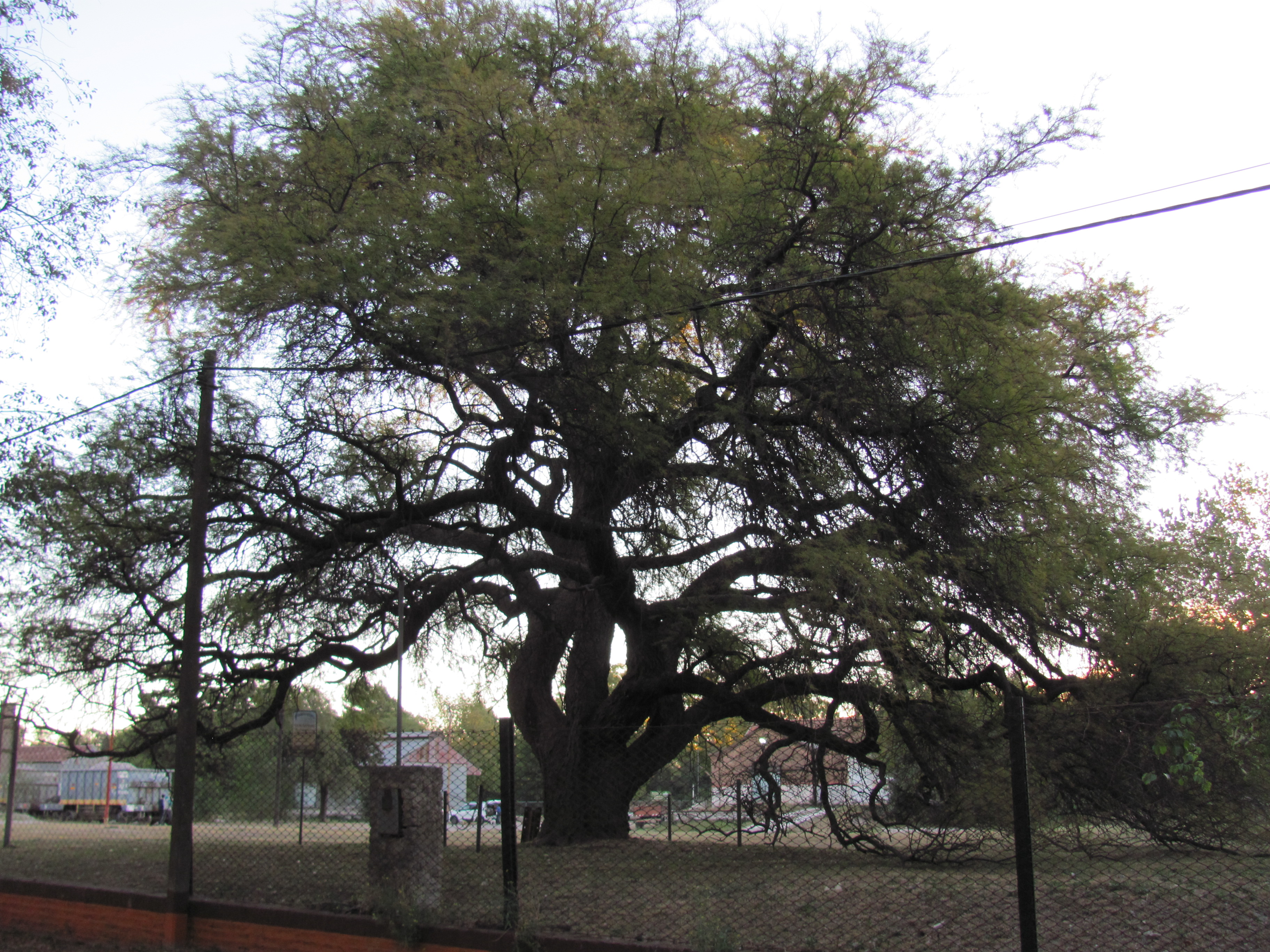 """El """"abuelo Caldén"""", el árbol mas añoso de Pigüé"""