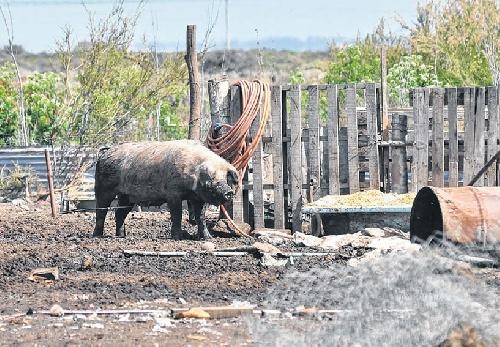 La Región: Aseguran que fue controlado el brote de triquina en Rivera
