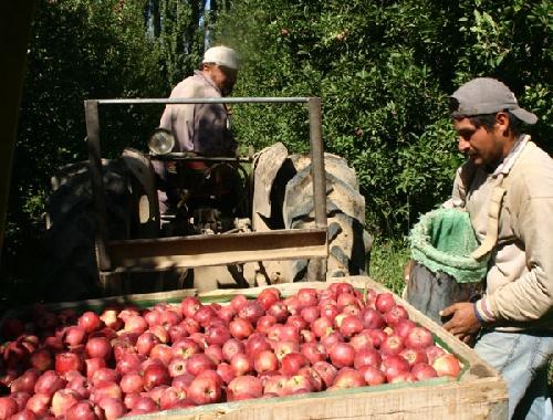 Mientras se pudre la fruta en el Sur, importan manzanas de Chile