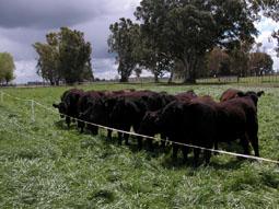 Argentina compraría ganado vacuno en pie a Uruguay