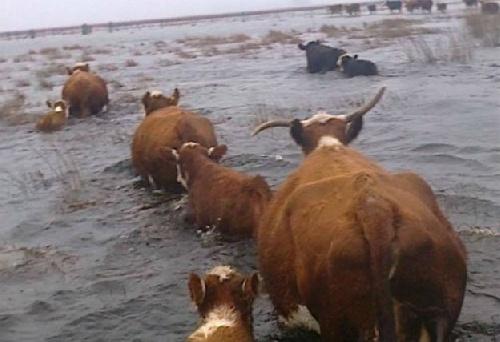 Miles de animales muertos por el desborde del Salado en pcia de Bs As