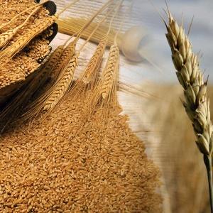 Agroindustria advirtió que la calidad del trigo es media/baja