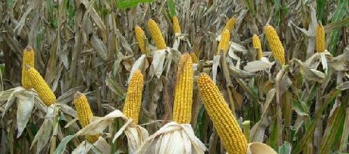El Maiz y un nuevo panorama productivo