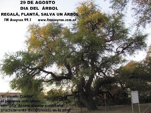 """29 de Agosto Dia del Árbol: """" el abuelo Calden piguense"""" de Interés Municipal"""